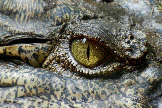 Tényleg léteznek krokodilkönnyekA krokodilok valóban sírnak, azonban ezt nem érzelmi indíttatásból teszik, vagy, ahogy sokan hitték korábban, nem a zsákmányukat siratják el. Tény azonban, hogy jellemzően evés közben hullatnak könnyeket, ez azonban azért van, mert így védik a szemüket, ha nem tartózkodnak a vízben, emellett állkapocsmozgásuk is a könnyezést segíti elő.