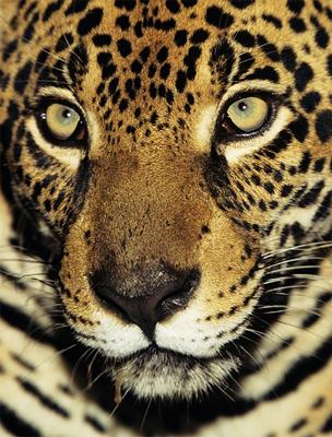 A Jaguár igen erős vezetői képességekkel bír