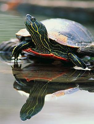 A Teknős nagy teherbírású, kitartó ember