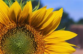 Bolgár virághoroszkóp - Melyik jegybe tartozol?