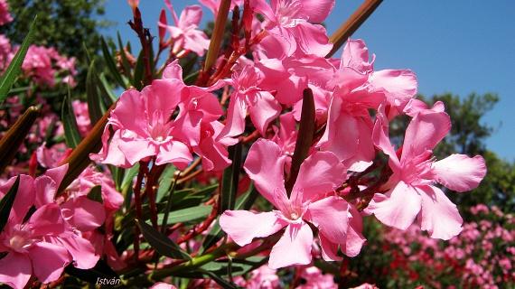 Ha kisgyermeked van, a csodaszép leandertől - Nerium oleander - is érdemes távol tartanod, mert a növény letépett levele, ága és virága is mérgező hatású nedvet bocsát ki.
