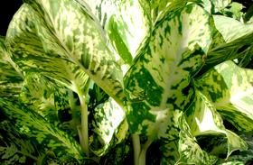 Veszélyes szobanövények