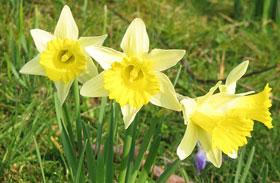 Tavaszi virágok gondozása