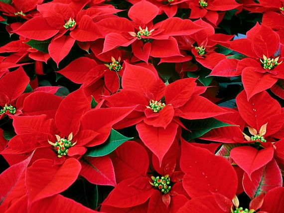 A mikulásvirágot - Euphorbia pulcherrima - nem véletlenül nevezik karácsonyi rózsának is, hiszen amellett, hogy akár a hóban is képes virágot bontani, az adventi, karácsonyi asztal díszeként is sokan használják. Ez a gyönyörű, vörös növény a viszonylag párás, hűvös, hőmérséklet-ingadozástól mentes, világos helyeket kedveli. A legjobb, ha a nyílászáróktól távol, egy olyan helyiségben tartod, amelynek hőmérséklete legfeljebb 16 és 20 fok között ingadozik. Fontos tudni, hogy a mikulásvirág tejnedvet tartalmaz, amely mérgező, a bőrrel érintkezve irritációt, allergiás reakciót válthat ki, így kisgyermekektől távol tartandó!