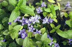 4 illatos balkonnövény, ami távol tartja a szúnyogokat és legyeket - Vegyszerek helyett!