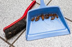 Élősködők a lakásban: poloskák és csótányok irtása