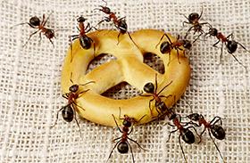 Illóolaj és illatok hangyák ellen