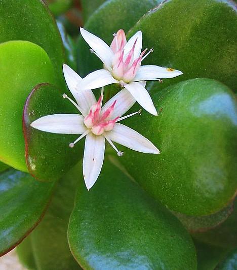 Igénytelen, de gyönyörű szobanövények