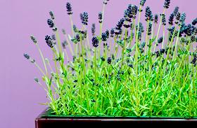 Illatos szobanövények