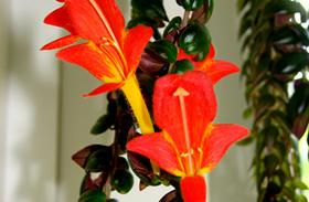 A legszebb futó szobanövények
