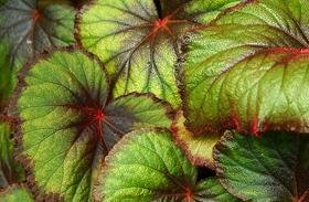 Közkedvelt, de mérgező szobanövények