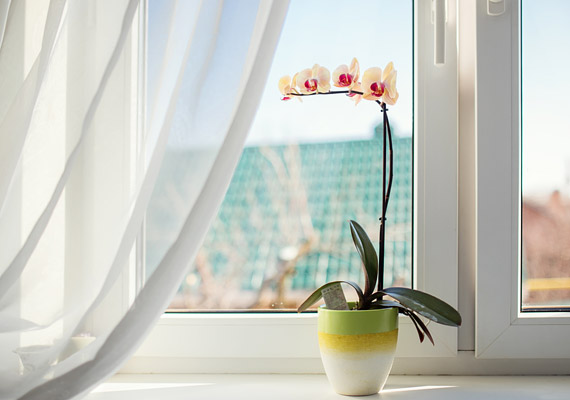 A magas páratartalom mellett a fény is igen fontos tényező az orchidea számára. Elsősorban keleti vagy nyugati tájolású ablakban érdemes elhelyezned - a direkt napfényt nem kedveli igazán, megperzselődhet. Arra is ügyelj, hogy a fűtőtesttől távol kerüljön!