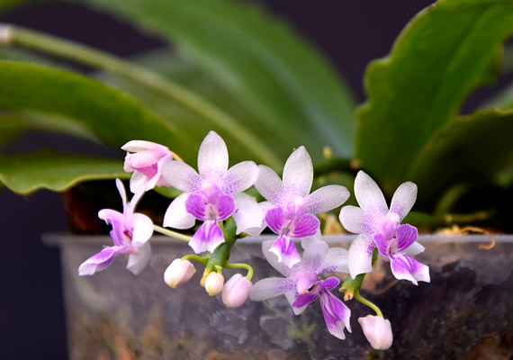 A trópusi, illetve szubtrópusi orchideák többsége természetes körülmények között a fákon él, de még a talajlakó fajták is laza, levegővel átjárt, szerves törmelékben érzik jól magukat. Éppen ezért ahhoz szoktak, hogy gyökereiket fény éri. Így a szobában tartott orchideákat érdemes átlátszó műanyag edényben tartani - illetve egyes fajokat faágra kötözve.