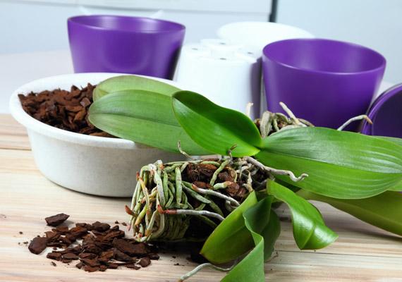 Az orchideák átültetésénél tartsd szem előtt, hogy számukra nem a hagyományos virágföld az ideális termőtalaj. Speciális, laza szerkezetű, tőzeges, fenyőkérges orchideaföldet vásárolj. Fontos, hogy ne akard mindenképpen edénybe gyömöszölni az összes gyökeret!