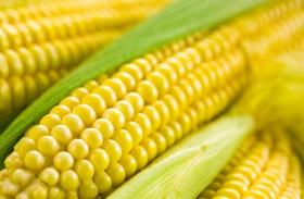 Szivárvány kukorica