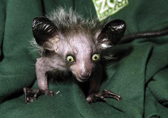 A Madagaszkáron élő véznaujjú maki igazán édesszájú, a cukornád a kedvence.