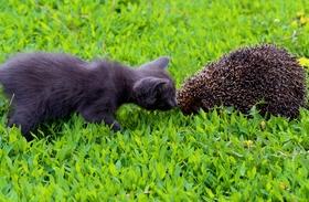 A macska örökbefogadta a süniket