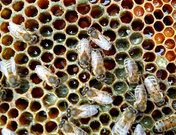 Az elkészült kannabiszmézet végül a méhész ugyanúgy kisajtolja, kipergeti a méhviaszból, ahogyan az összes többi, átlagos mézet szokás.