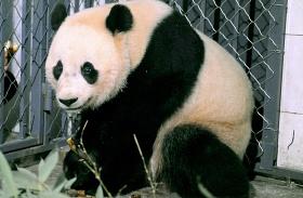 Panda szállítás