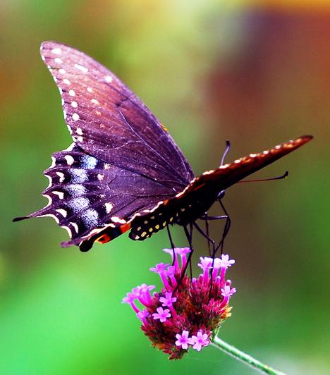 15 alig ismert, izgalmas tény a pillangókról
