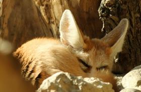 Sivatagi rókák