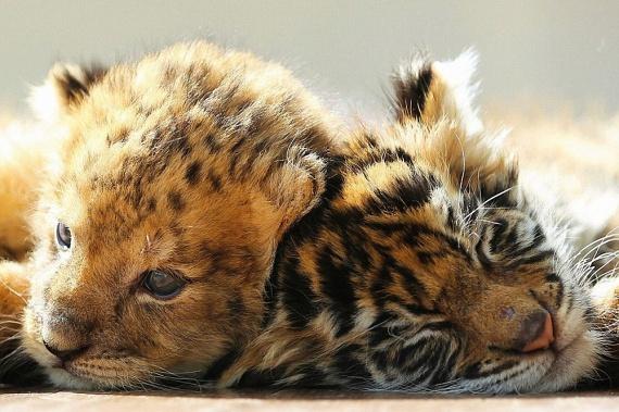 Ha az oroszlán és a tigris a természetben találkoznak, nem mennek el harc nélkül egymás mellett.
