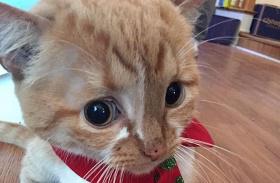 Vízfejű cica