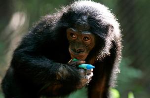 Bonobo a Salonga Nemzeti Parkból