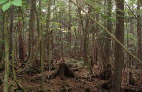 Aokigahara erdő