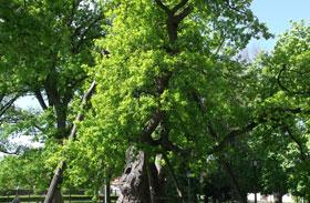 Magyarország legöregebb fái