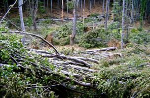 Ledöntött fák a Mátrában - itt csak a szél volt