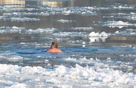 Jeges vízben fürdik a Dunai Rozmár