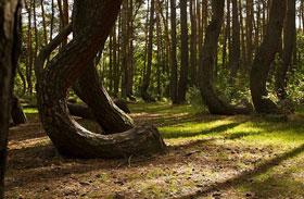 Görbe erdő