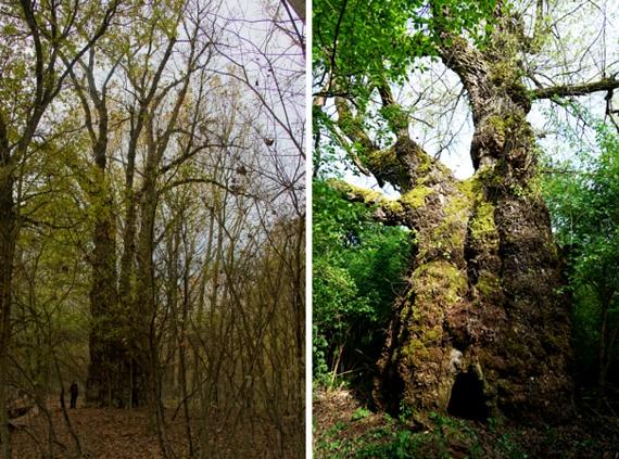 A képeken az ország két legnagyobb fáját láthatod. A bal oldali óriás - számos más hatalmas példánnyal együtt - Gemenc erdőjében él. A nagyjából egy évszázados fa 1200 centiméter körben, míg magassága legalább 35 méter. Mellette nem sokkal kisebb révfalusi fajtársát láthatod, 1038 centis törzzsel.