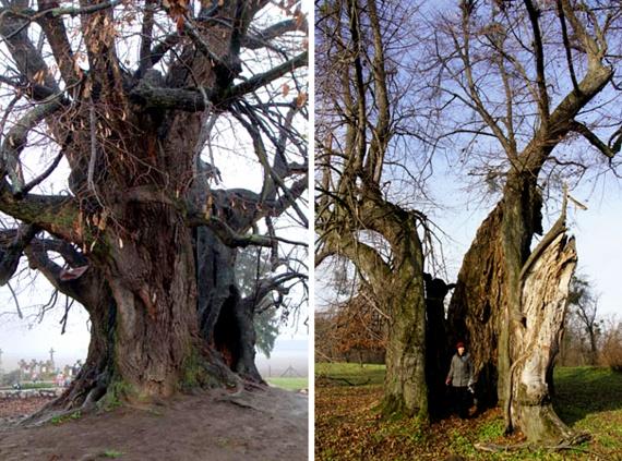 Szőkedencs hársfája ugyan 11 méteres törzskörmérete miatt bőven megérdemli a tiszteletet, mégsem tekinthető egy fának, hiszen a föld felett kettéválik egy 718 és egy 516 centiméteres ágra. Mellette egy másik hatalmas hárs látható, amely Ötvöskónyi büszkeségei közé tartozik 10 méteres kerületével.