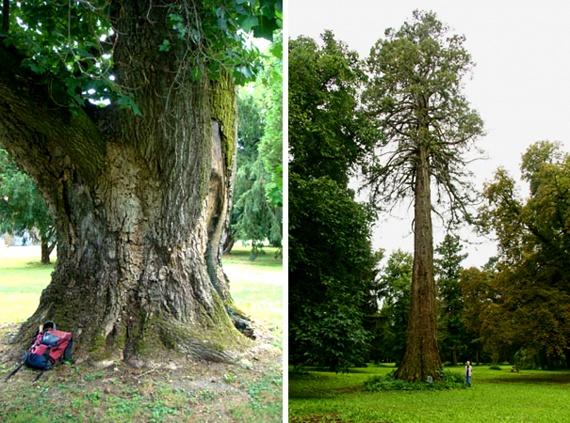 A díszként ültetett fák közül kiemelkedő méretekkel rendelkezik a körben 600 centiméteres tulipánfa Iváncon, illetve a Szombathelyen, a Bogáti kastélyparkban megtalálható, 730 centis derékbőségű mamutfenyő.