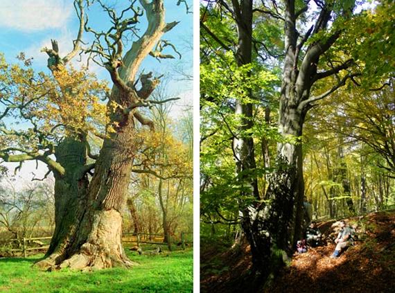 Az ország legnagyobb kocsányos tölgye sokáig a képen látható 980 centis körfogatú zsennyei fa volt, míg 2006-ban ketté nem hasadt. Mellette a leghatalmasabb, még ma is álló bükkfát láthatod, amely Úrkút mellett él - a becslések szerint legalább 250 éve.