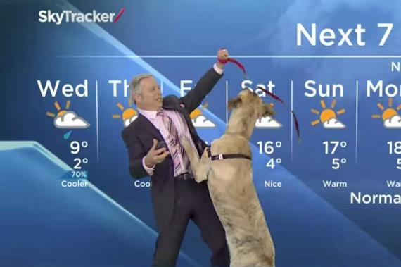 Mike Sobelhez, Kanada egyik legnépszerűbb meteorológusához egy díszvendég is csatlakozott az egyik adásban - a híradóban aznap adoptálásra váró kutyusokat mutattak be, Ripple pedig adás közben szaladt oda az időjóshoz, hogy játsszon vele. Szerencsére az egyik néző beleszeretett a bohókás jószágba, így az rögtön gazdára is talált.