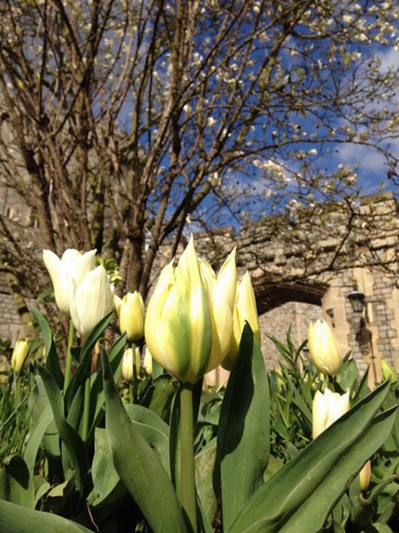 Természetesen már a gyönyörű, sárga tulipánok is kibújtak a földből, a virágkedvelő kastélylakók nagy örömére.