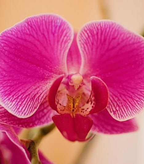 Orchidea                         Az orchidea a szépség és finomság virága. Ha ezt ajándékozod az édesanyádnak, azzal azt üzened neki, hogy nagyra becsülöd.