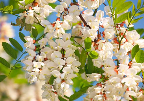A fehér akác - Robinia pseudoacacia - virágából készített tea köhögéscsillapító hatással bír, ugyanakkor a növény termésének magjai mérgezőek.