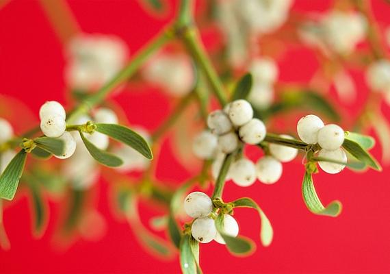A fehér fagyöngy - Viscum album - megerősíti az immunrendszert - például rákos megbetegedések esetén remek természetes segítség -, ám fontos, hogy csak orvos felügyelete mellett fogyaszd, mert a növény bogyós termése mérgező.