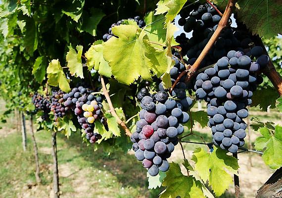 Mind a szőlő, mind a belőle készült mazsola lúgosító hatású. Ráadásul a kékszőlő még antioxidánsokban is gazdag.