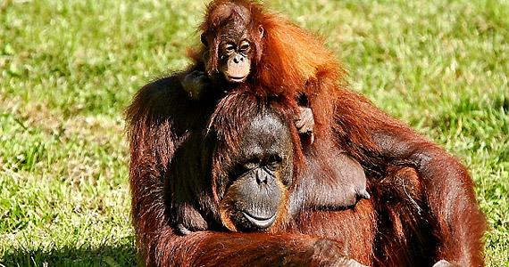 A boldog orángutánok hosszabb életre számíthatnak az állatkertben, mint melankolikusabb társaik - derült ki a Biology Letters című folyóiratból.