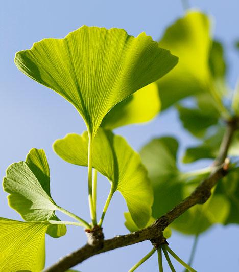Ginkgo  A ginkgo biloba - a köznyelvben páfrányfenyőként ismert növény - hatásos ellenszere lehet a diabétesz egyik gyakori szövődménye, a retinopátia ellen.  Kapcsolódó cikk: Így használd a ginkgo bilobát »