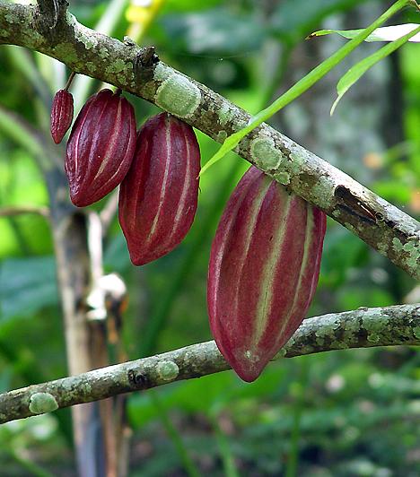 Kakaó  A magas kakaótartalmú csokoládé fogyasztásával energiával látod el az agyad. Ráadásul a kakaó segítségével növelheted szervezeted boldogsághormon-termelését is, ezáltal jóval kiegyensúlyozottabbá válhatsz.