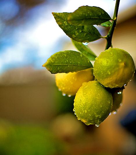 Citrom                         Ez a citrusféle igen hatékony immunvédelmet biztosít, és emellett erős vírusölő, fertőtlenítő tulajdonsággal is rendelkezik. Elsősorban belsőleg érdemes alkalmazni, sebek fertőtlenítésére magas savtartalma miatt nem alkalmas.                                                  Kapcsolódó cikk:                         Méregtelenítő, hűsítő citrusdiéta »