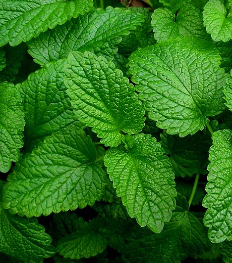 Citromfű Az illatos növény igen hatékony vírusölő tulajdonságokkal bír. Érdemes alkalmaznod a citromfűteát emésztési bántalmak – puffadás, székrekedés, hasmenés – esetén. Ezenkívül pedig rendkívül eredményesen pusztítja a herpesz-vírust is.  Kapcsolódó cikk: A 3 legerősebb baktérium- és vírusölő növény »