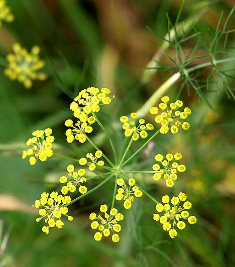 Édeskömény Az növény hatékonyan serkenti az anyagcserét, segít a gyomor-bél panaszok és a légúti gyulladások enyhítésében, termése és olaja görcsoldó és nyugtató hatású, emellett hatásos baktérium- és vírusellenes anyagokat tartalmaz.