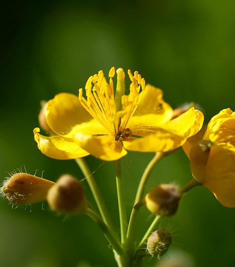 Vérehulló fecskefűA latinul Chelidonium majusnak nevezett növény körülbelül harminc-száz centiméter magas, sárga virágú, és áprilistól októberig virágzik. A növény szárának levét homeopátiás gyógyszerek alapanyagaként is felhasználják, de alkalmazhatod egyszerűen úgy is, hogy a vérehulló fecskefű eltört szárából fakadó sárga nedvet közvetlenül a szemölcsre cseppented.Kapcsolódó cikk:Szabadulj meg a szemölcstől! »